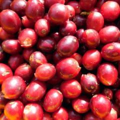 Nur die roten Kaffeekirschen werden geerntet