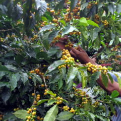 Yellow coffee cherries