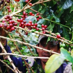 Picking the red coffee cherries