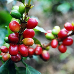 Kaffeekirschen Kaffeeernte Guatemala
