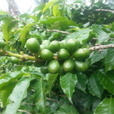 Grüne Kaffeekirsche