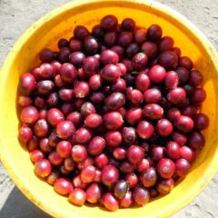 Only red coffee cherries