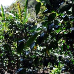 Intercropping and shade-grown coffee