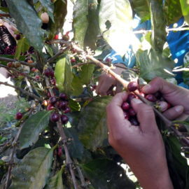 Meet the producers: Honduras / Comsa