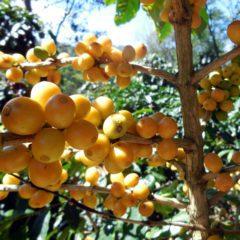 Gelbe Kaffeekirschen
