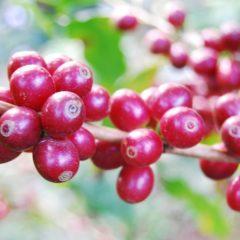 Kaffee Honduras