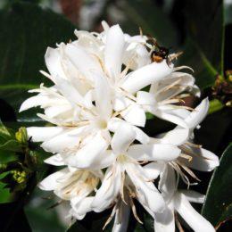 Bio, Öko, Natur: Bestäubung einer Kaffeeblüte