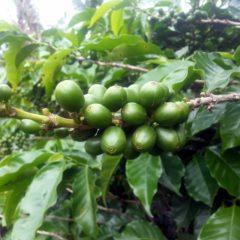 Kaffee Pflanze Sorte